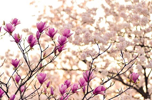 fleurs de cerisier et magnolia